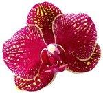 Orchid Red Floral Fine Art