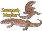 Savanah monitor