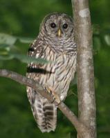 LISA'S OWL