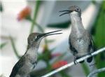 Original Hummingbird Photos & Gifts
