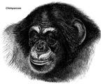 Chimpanzee Monkeys
