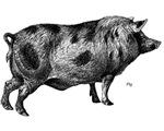 Pig / Hog