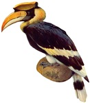 Pied Hornbill 