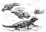 Horned Lizards