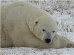 Polar Bears: A Candian Wonder