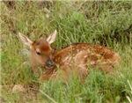 Spring Elk Calf