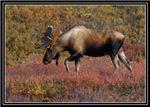 Autumn Moose