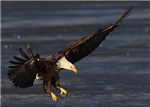 Touchdown Bald Eagle