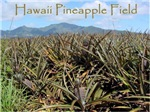 Hawaii Pineapple Field