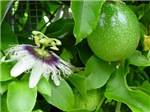 Passion Fruit and Flower