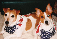 Fear This! Patriotic Jack Russells