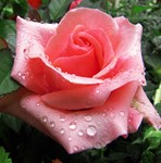 Pink Rose with Dew