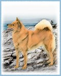 Finnish Spitz - Multiple Illustrations