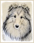 Shetland Sheepdog-Multiple Illustrations