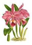 Pink Cattleyea Labiata Orchid