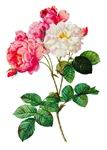 Pierre-Joseph Redoute Rose