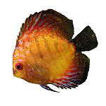 Discus Fish T-shirts & Gifts