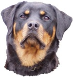 Rottweilers!