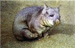 Wombat With an Itch