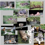Wild Cat Photo Gifts