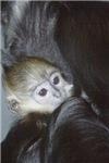 Baby Francois Langur