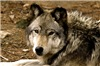 Timber Wolf 1630