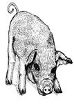 I Like Pigs
