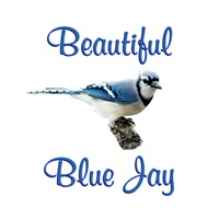 <b>BEAUTIFUL BLUE JAY</b>
