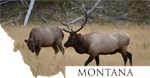 Rocky Mountain Elk- Montana
