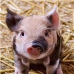 Sweet little piglet