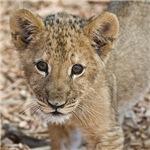 Sweet lion cub