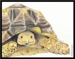 Lilly the Tortoise