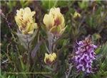 Wildflower Tundra