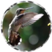 Hummingbird 0002