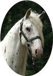 Spanish Jennet Stallion