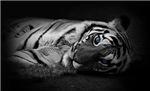 Awakened Tiger