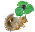 Squirrel Trillium