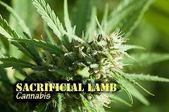 Sacrificial Lamb (with name)