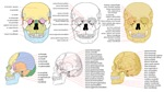 Human Anatomy Skull