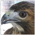 Red Tail Hawk Side Portrait