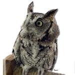 Sorcha, Screech Owl
