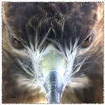 Red Tail Hawk Front Face