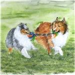 Shetland Sheepdogs At Play