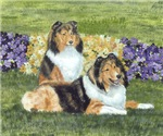 Sheltie Pair