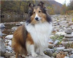 Sable Sheltie Hiker