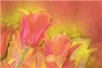 Tulips in Pastels