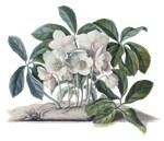Christmas Rose (Helleborus niger) by Ehret