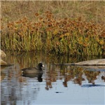 Coot on Pond
