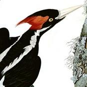 Audubon's Ivory-billed Woodpecker