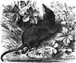 Moles, shrews and hedgehogs